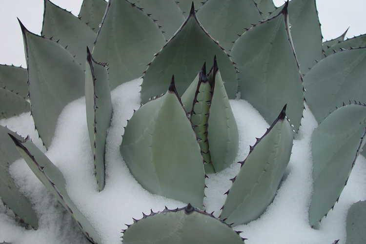 Agave parryi subsp. parryi var. truncata 'J.C. Raulston' (mescal barrel agave)