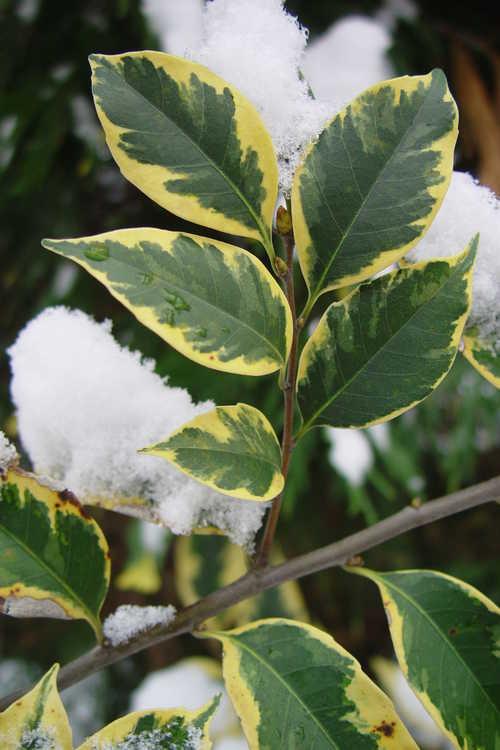 Castanopsis cuspidata var. sieboldii 'Angyo Yellow' (variegated Japanese chinquapin)