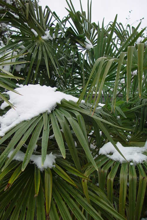 Trachycarpus fortunei (windmill palm)
