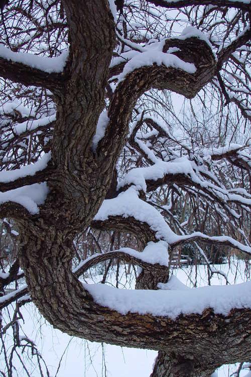 Ulmus alata 'Lace Parasol' (weeping winged elm)