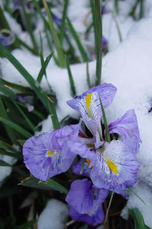 Iris unguicularis (winter flowering iris)