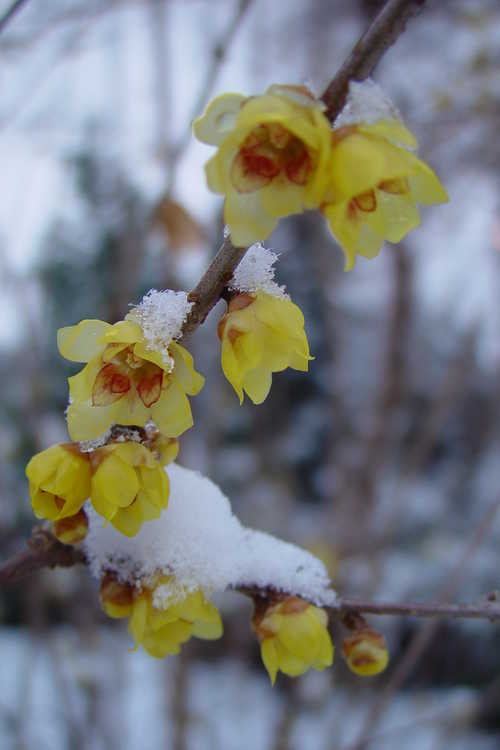 Chimonanthus praecox (fragrant wintersweet)