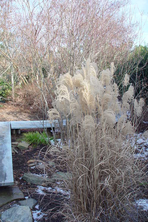 Miscanthus sinensis 'Morning Light' (variegated maiden grass)