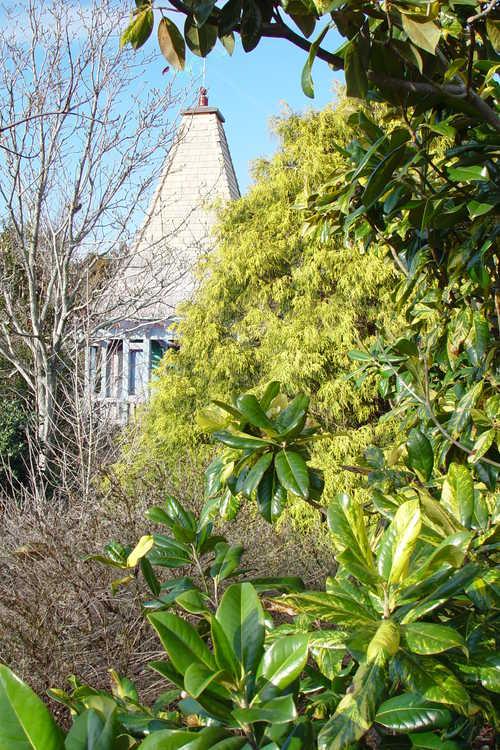 Chamaecyparis pisifera 'Filifera Aurea' (gold-thread Sawara falsecypress) and Magnolia grandiflora (variegated form) (variegated Southern magnolia)
