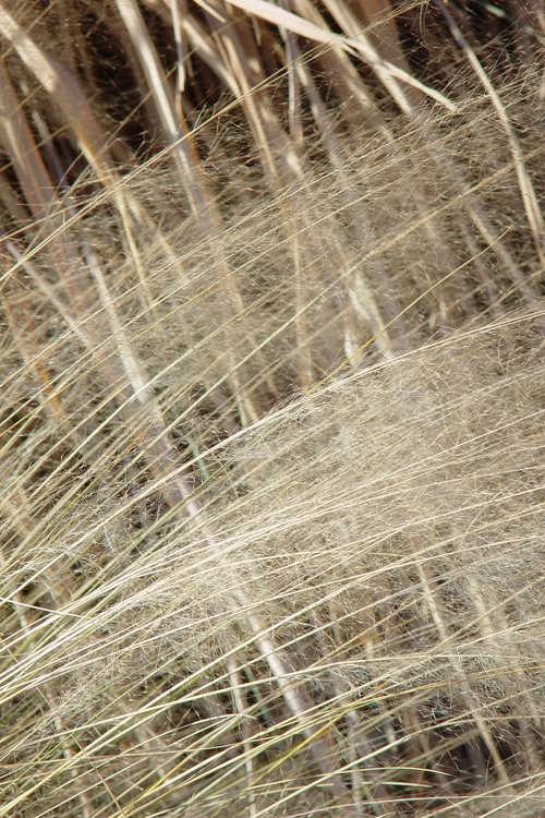 Muhlenbergia capillaris (hairy-awn muhly grass) and Saccharum arundinaceum (hardy sugarcane)