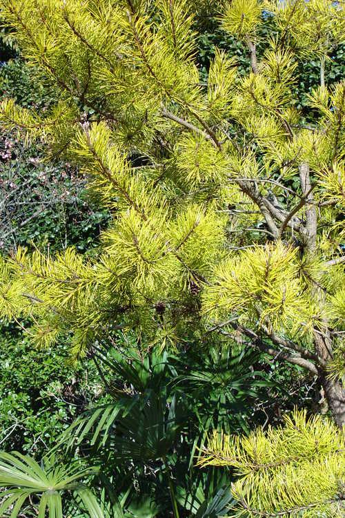 Pinus virginiana 'Wate's Golden' (wintergold Virginia pine)