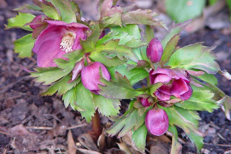 Helleborus (hellebore) - Hellebore seedling in the Winter Garden