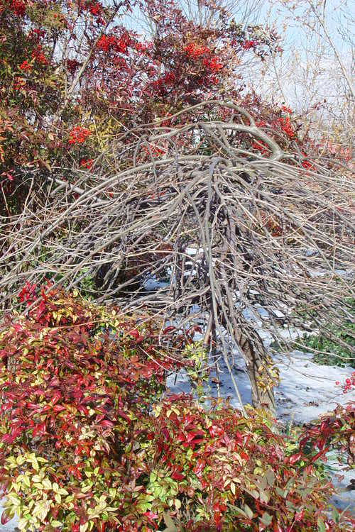 Gleditsia triacanthos f. inermis 'Emerald Kascade' (weeping thornless honeylocust) and Nandina domestica 'Okame' (dwarf heavenly bamboo)