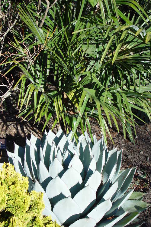 Agave parryi subsp. parryi var. huachucensis (Fort Huachuca barrel agave) and Trachycarpus fortunei 'Norfolk' (hardy windmill palm) - Winter Garden