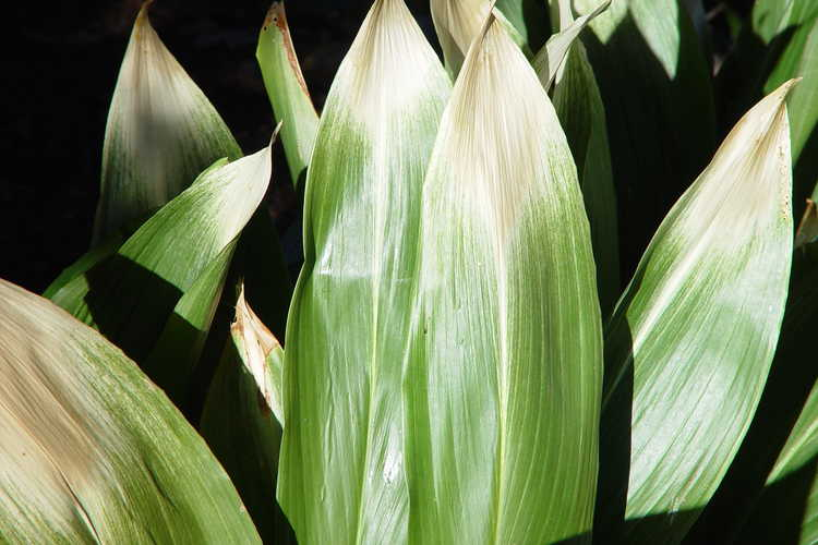 Aspidistra elatior 'Asahi' (morning sun cast-iron plant)