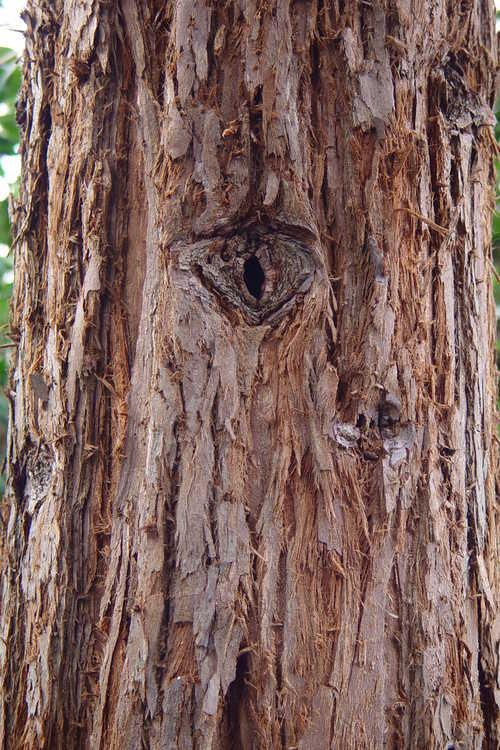Sequoia sempervirens 'Soquel' (coastal redwood)