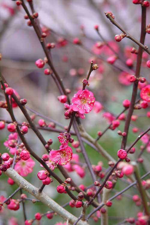 Prunus mume 'Matsurabara Red' (red Japanese flowering apricot)