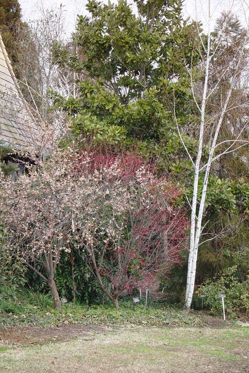 Betula utilis var. jacquemontii 'Kashmir White' (Himalayan white birch) and Prunus mume 'Matsurabara Red' (red Japanese flowering apricot) - Behind the Necessary