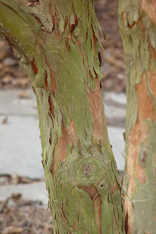 Lagerstroemia limii (Zhejiang crepe myrtle)