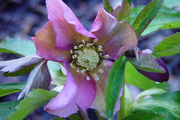 Helleborus ×hybridus (Royal Heritage strain) (Lenten rose)