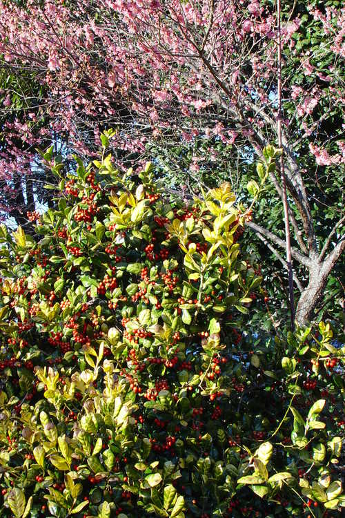 Ilex cornuta 'Sunrise' (golden Chinese holly)