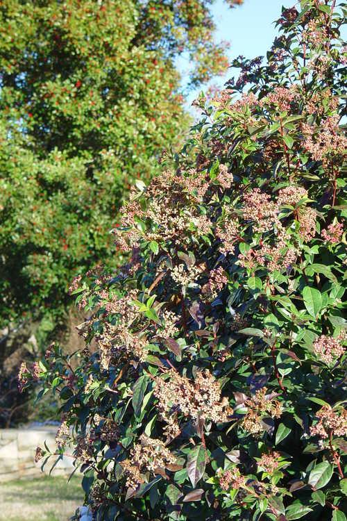 Viburnum tinus 'Compactum' (laurustinus)