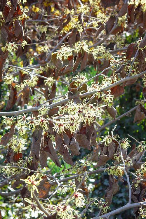 Hamamelis ×intermedia 'Pallida' (common witchhazel)