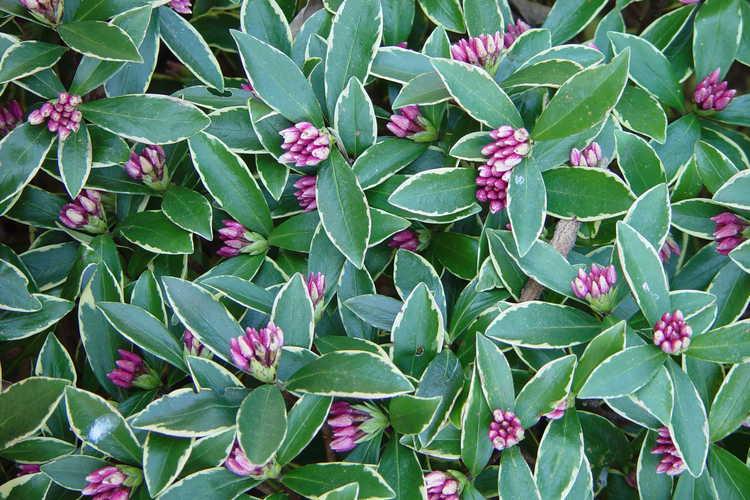 Daphne odora 'Aureomarginata' (gold-edged winter daphne)