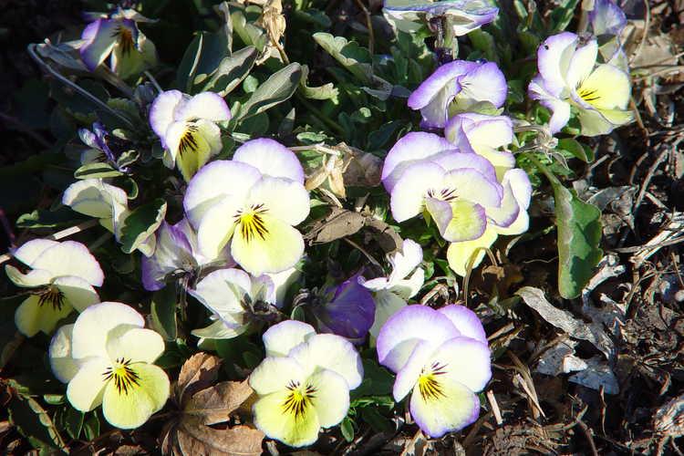 Viola 'Sorbet Lemon Swirl' (horned violet)