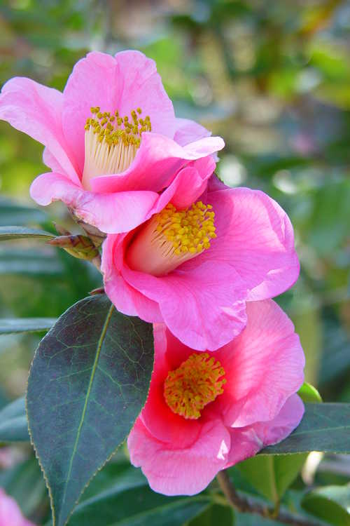 Camellia ×williamsii 'Mary Christian' (Williamsii camellia)