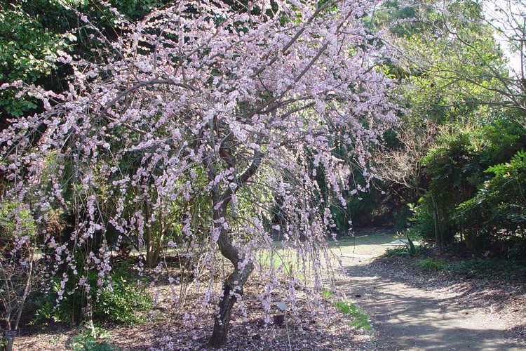 Prunus mume 'W. B. Clarke' (weeping Japanese flowering apricot)