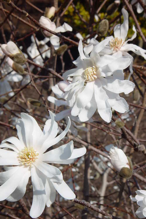 Magnolia ×loebneri 'Willowwood' (Loebner magnolia)