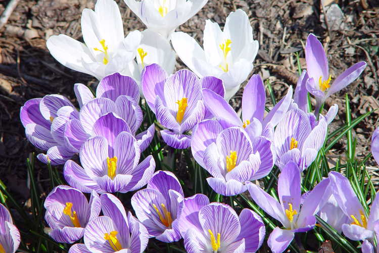 Crocus vernus - various crocuses popping up together