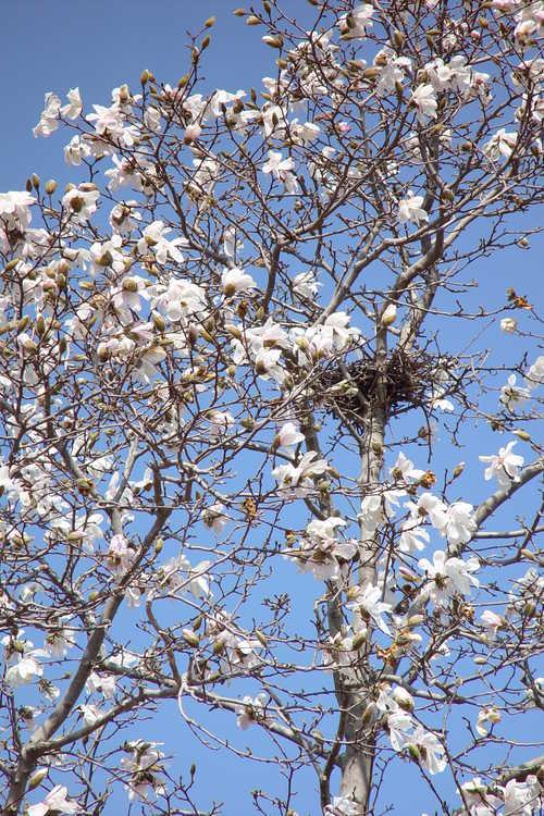 Magnolia ×loebneri 'Merrill' (Loebner magnolia)