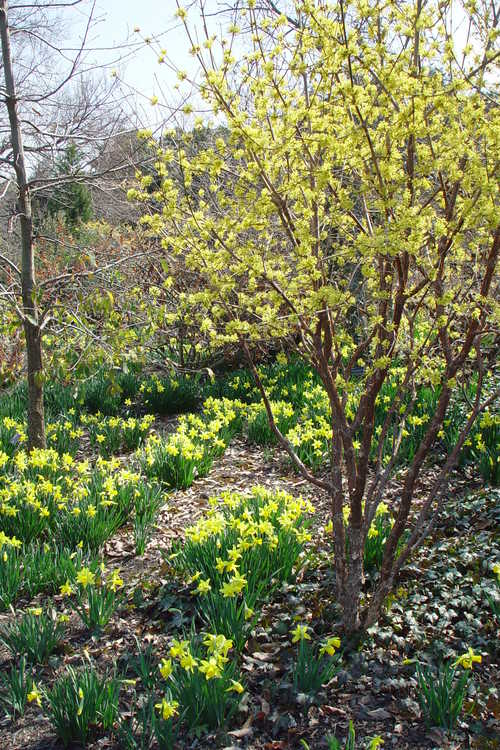 Cornus officinalis 'Spring Glow' (Cornelian cherry) and Narcissus 'February Gold' (cyclamineus daffodil)