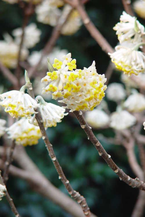 Edgeworthia chrysantha 'Gold Rush' (golden paperbush)