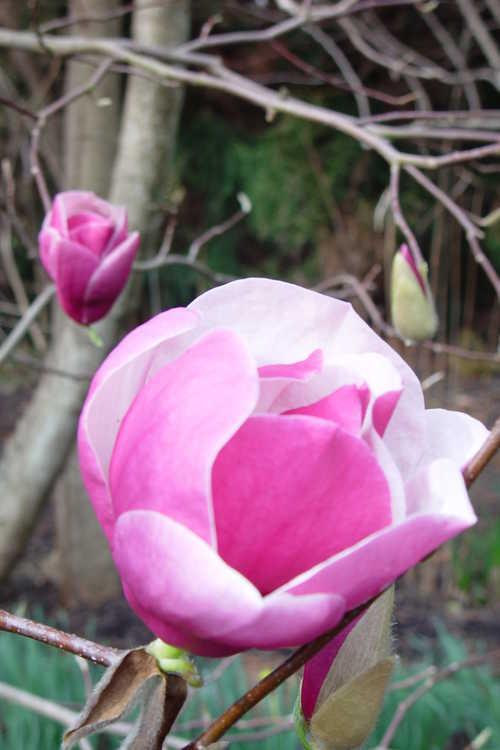 Magnolia 'Darrell Dean' (Gresham hybrid magnolia)