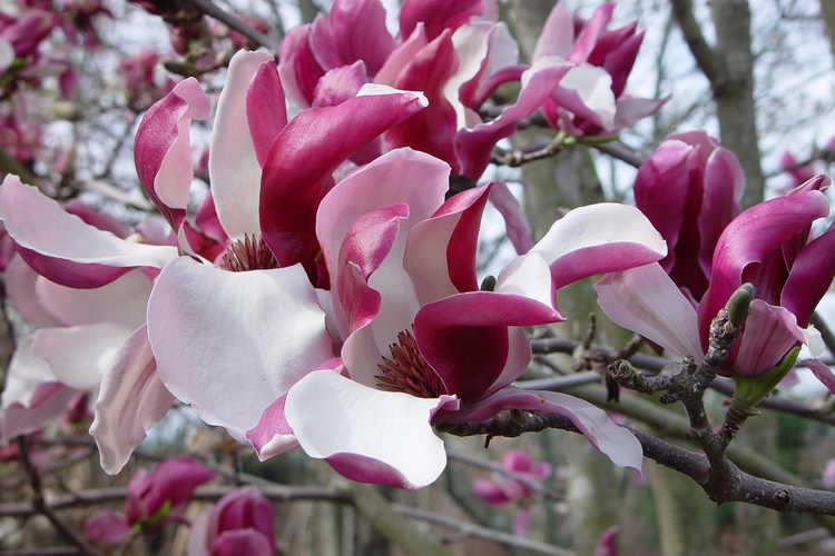 Magnolia ×soulangeana 'Picture' (saucer magnolia)
