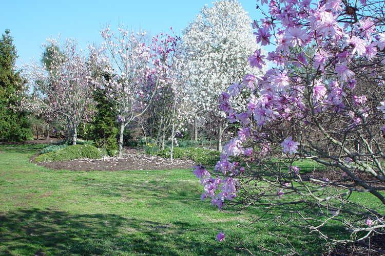 Magnolia stellata 'Chrysanthemumiflora' (many-petalled star magnolia)