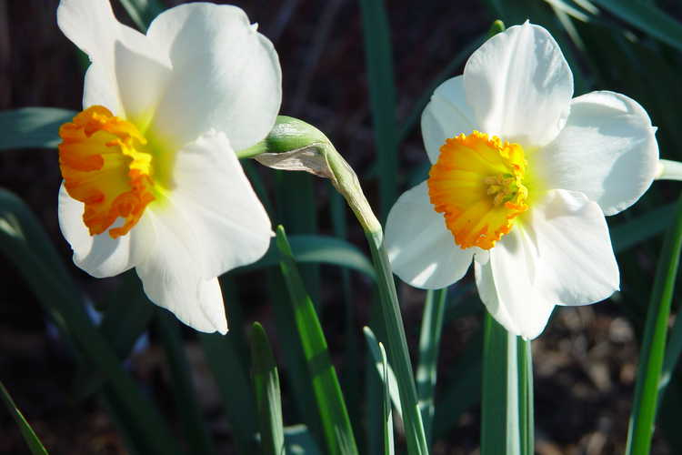 Narcissus 'Barrett Browning' (small-cupped daffodil)
