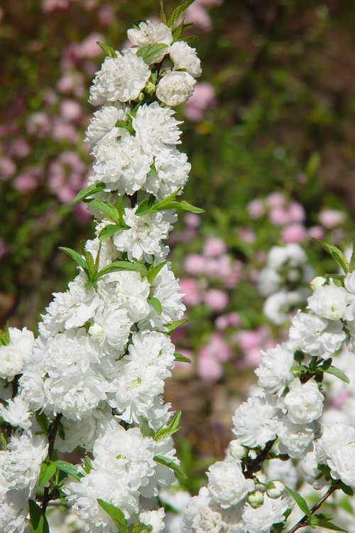 Prunus glandulosa 'Alba Plena' (white dwarf flowering almond)