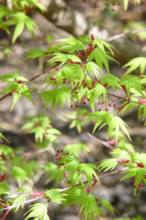 Acer palmatum 'Nishiki gawa' (pine-bark Japanese maple)