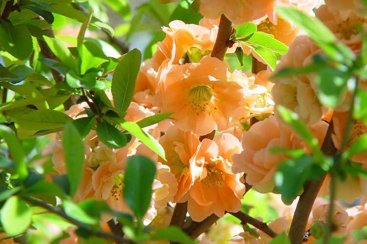 Chaenomeles ×superba 'Cameo' (hybrid flowering quince)