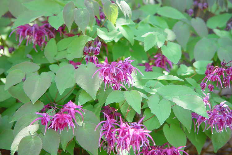 Epimedium grandiflorum 'Rose Queen' (bishop's hat)