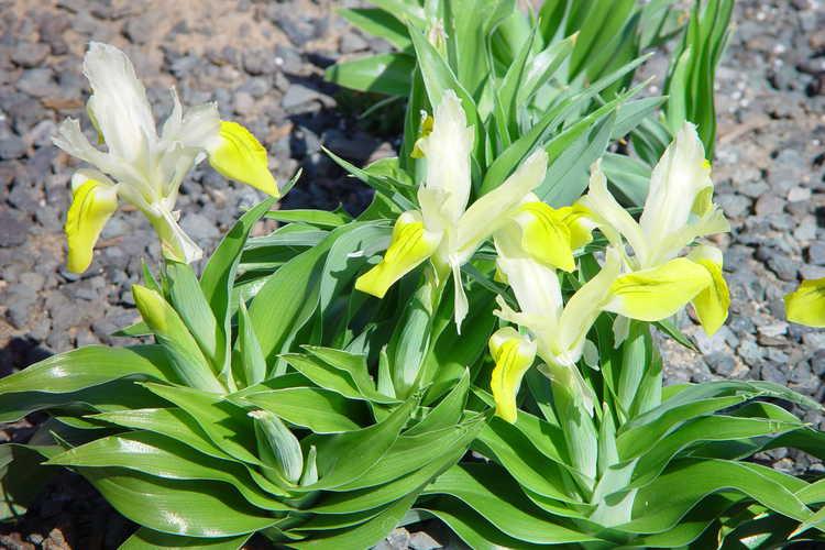 Iris bucharica (Bokhara iris)