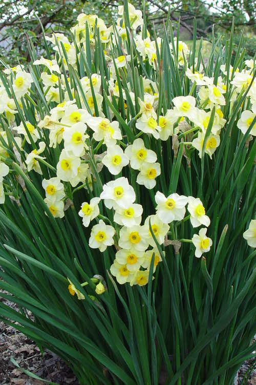 Narcissus 'Golden Dawn' (tazetta daffodil)