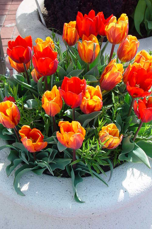 Tulips fill this container on the Rooftop Terrace Garden