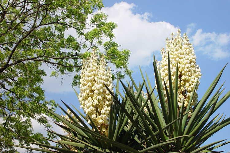 Yucca treculeana (Don Quixote's lance)