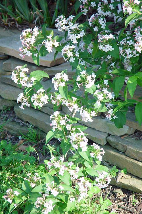 A sweet fragrance lingers from the Abelia mosanensis (Mangsan abelia)