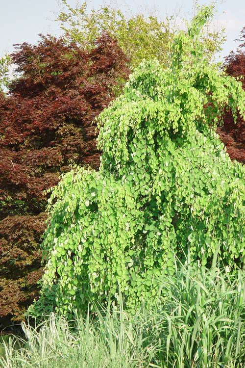 Acer palmatum (Japanese maple) and Cercidiphyllum japonicum 'Morioka Weeping' (weeping katsura)