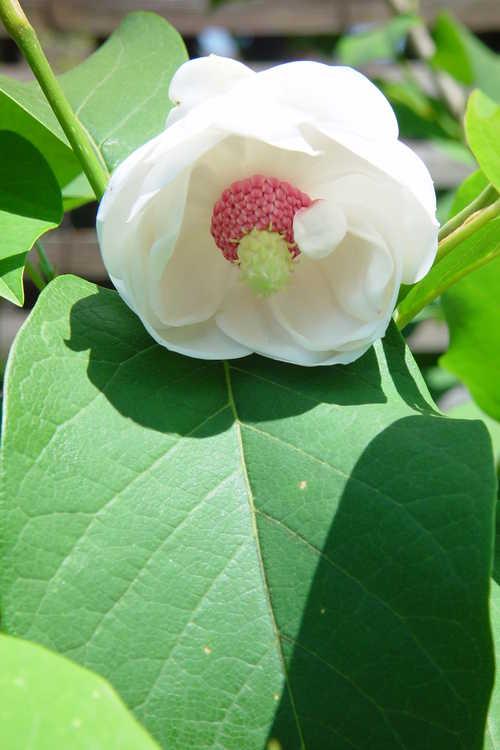 Magnolia sieboldii 'Colossus' (Oyama magnolia)