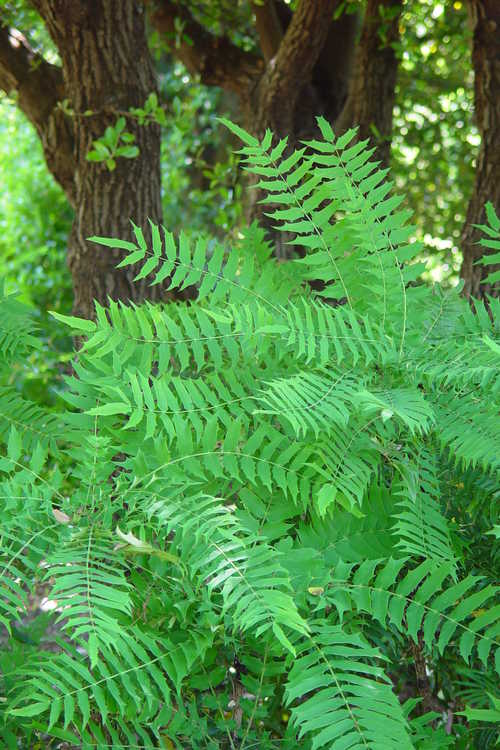 Mahonia lomariifolia (Burmese mahonia)