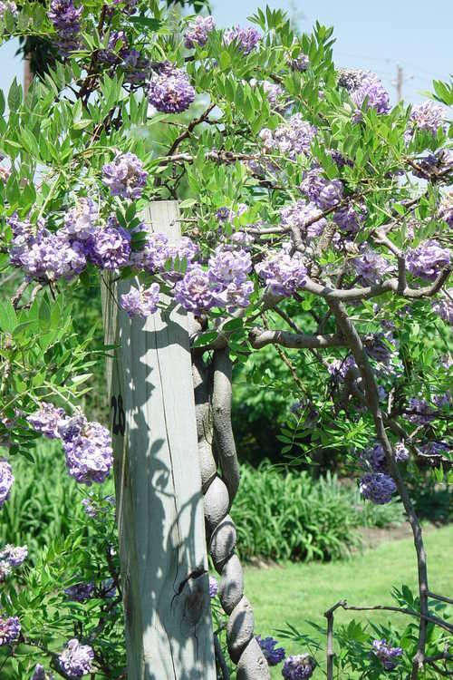 Wisteria frutescens 'Amethyst Falls' (American wisteria)