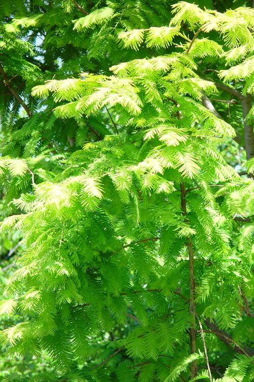 Metasequoia glyptostroboides 'Ogon' (golden dawn redwood)