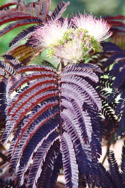 Albizia julibrissin 'Summer Chocolate' (purple-leaf mimosa)